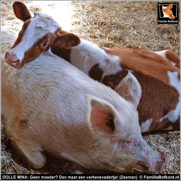 bijzondere varkens rassen